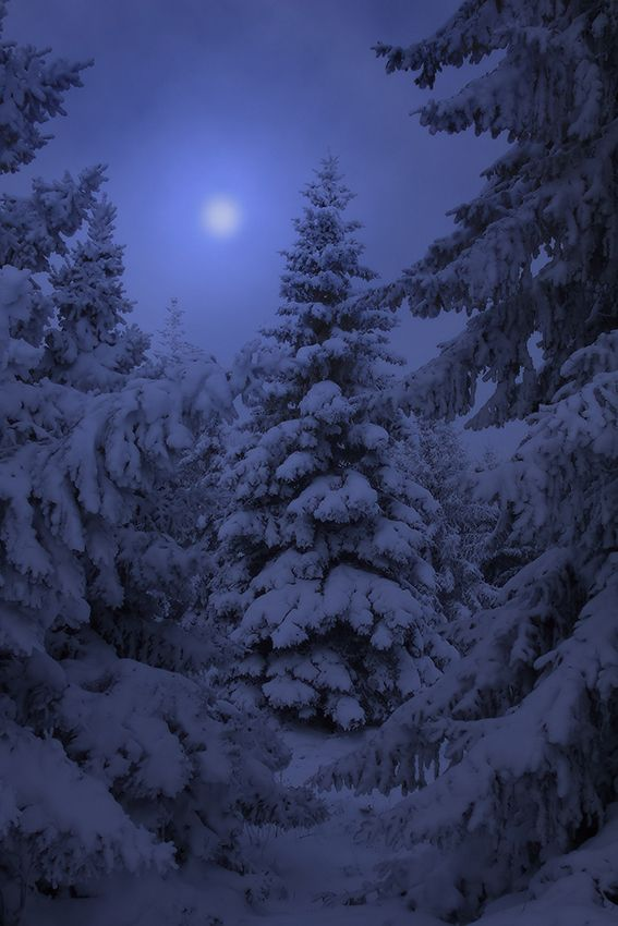 foggy frosted winter pine lit by the moon