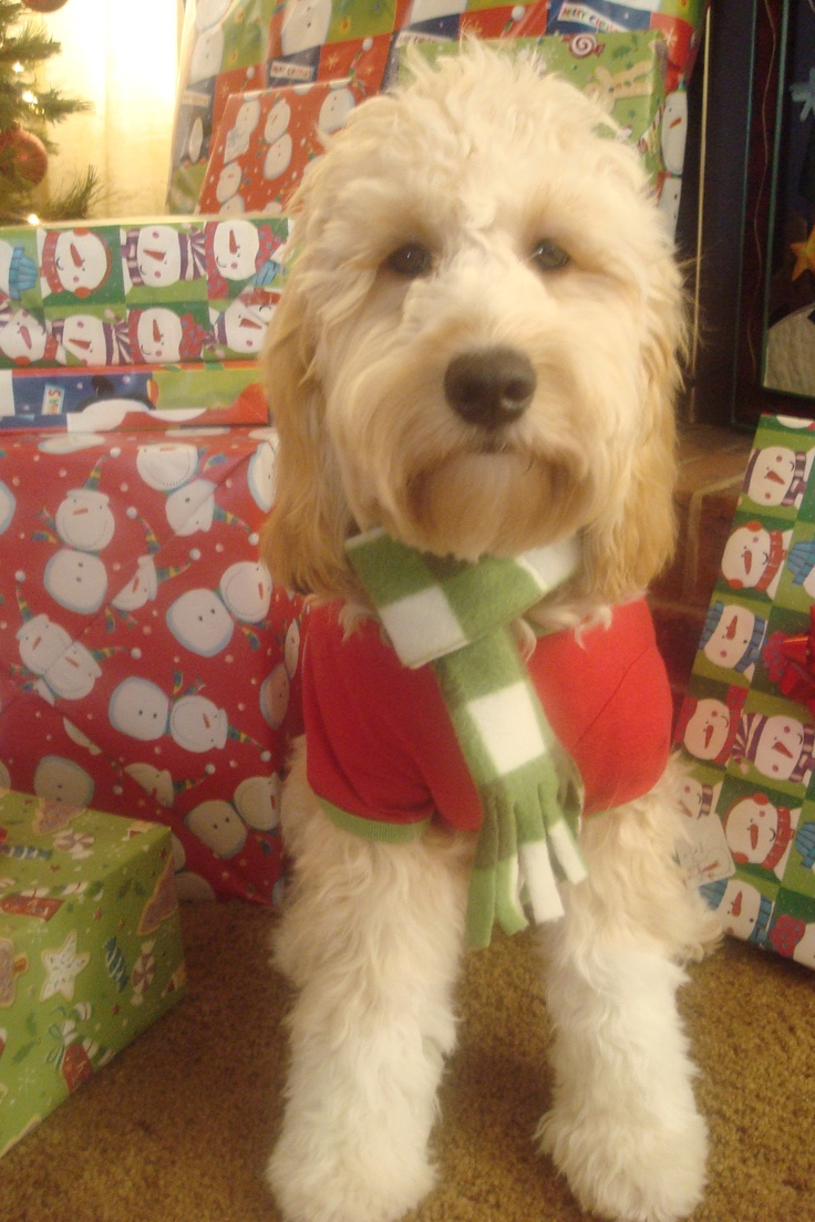 This is our Goldendoodle Davis Ashley Wagner, on his first Christmas!  For a long time, he was my everything... now he shares that with his dad and brother!