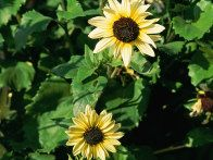 A sunflower, Vanilla Ice, bears clusters of light yellow and cream with deep chocolate eyes. Cream colored sunflowers create an elegant border with sunflowers that only reach about 3 feet.