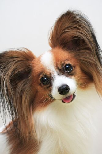 The Papillon which means 'butterfly' as the ears resemble the open wings of a butterfly.