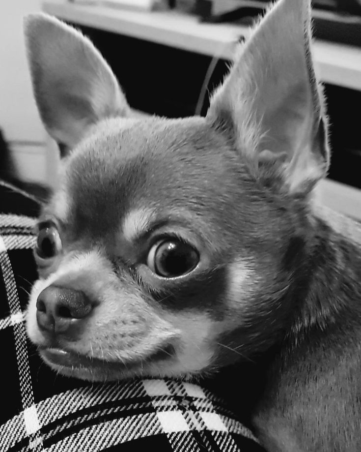 I can almost see the weekend!  Happy Thursday!  #puppylife #bestdogever #lifewithdogs #lovethisdog #smalldog #chihuahua #chihuahuaworld #chihuahuagram #chihuahuasofinstagram #dogsofinstagram #puppiesofinstagram #dog #chihuahuaworld #chihuahuasofig #puppydog #mydog #chihuahuaworld #petsofinstagram #igpets #petoftheday #puppy #puppylove #puppies #petsofinstagram #dogoftheday #puppyoftheday #cutedog #dogsofinstagram #puppygram #dogsofig #dogs_of_instagram #harrypotter