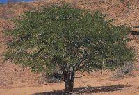 Mopane tree