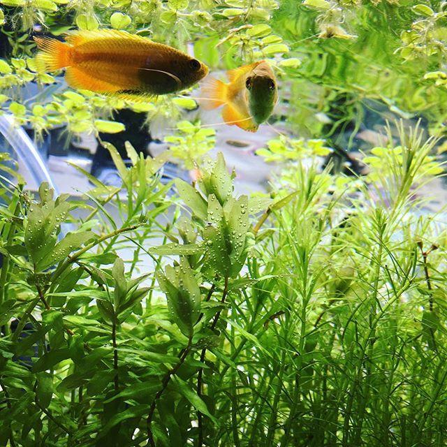 【mayumi_no_sakana】さんのInstagramをピンしています。 《ミスト式水槽の写真が同じようなものばっかりだったのでハニグラ水槽も😉気泡つけてます💕 今までハニグラ載せるときは、#ゴールデンハニードワーフグワミー ってタグしてたけど、グワミーって…笑 . #水草 #水草レイアウト #水草水槽 #水槽 #熱帯魚 #小型熱帯魚水槽 #熱帯魚水槽 #アクアリウム #aquarium  #fishtank #趣味 #趣味垢 #goldenhoneydwarfgourami #淡水魚 #浮き草 #グラミー #gourami #ゴールデンハニードワーフグラミー #気泡 #光合成 #ロタラ #waterplants》