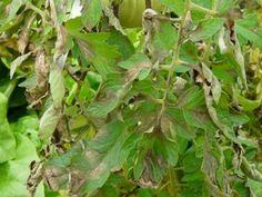 Bien connu des jardiniers et des agriculteurs, le mildiou est une maladie cryptogamique affectant de nombreuses espèces de plantes, et prenant des proportions épidémiques dans certaines cultures, telles la vigne, mais également pour certains légumes du potager comme la tomate et la pomme de terre. Comment prévenir cette maladie dans votre jardin ? Quelles sont les …