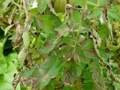 Bien connu des jardiniers et des agriculteurs, le mildiou est une maladie cryptogamique affectant de nombreuses espèces de plantes, et prenant des proportions épidémiques dans certaines cultures, telles la vigne, mais également pour certains légumes du potager comme la tomate et la pomme de terre. Comment prévenir cette maladie dans votre jardin? Quelles sont les …