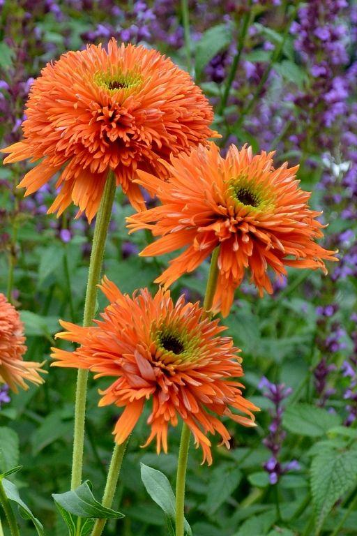 Secret Garden: 1000+ Images About Echinacea