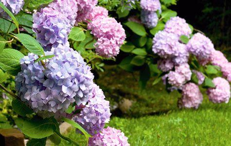 Hortensia har meget mere at byde på, end de fleste ved. De blomstrende buske med de store, farverige blomsterkugler er et plus for haven fra sommer og langt ud på vinteren, og de er ikke svære at plante.