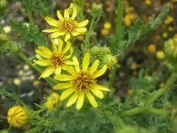 Plantas Medicinales: HIERBA DE SANTIAGO (es tóxica, y se utilizaba antiguamente para las hemorragias nasales)