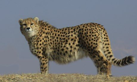 Cheetahs' Iranian revival cheers conservationists: Wildlife experts hail success of UN-backed initiative to protect Asiatic cheetahs from extinction despite sanctions