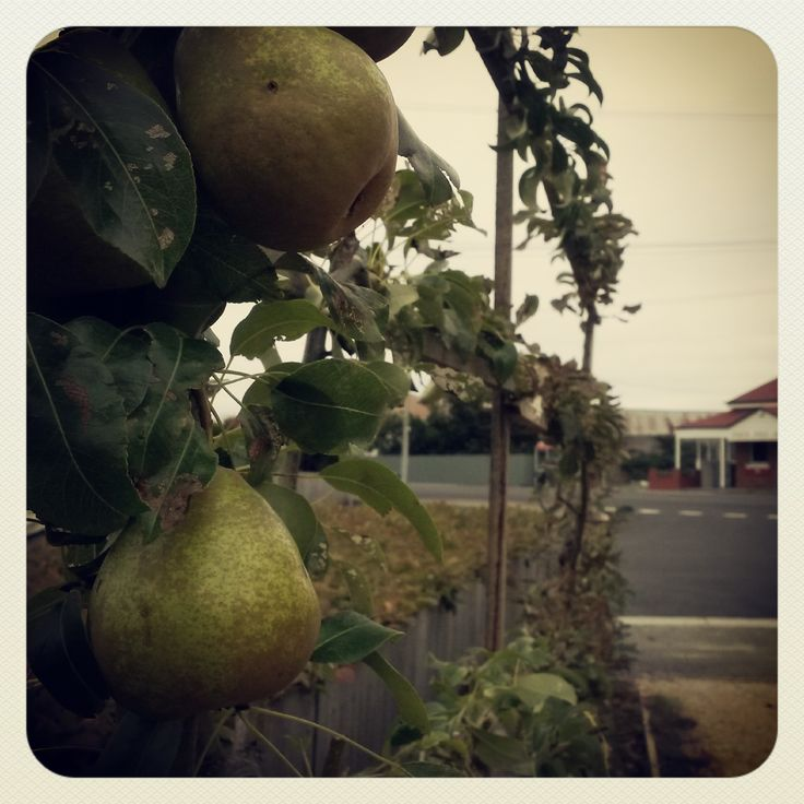 Pears are still ripening (at Ut Si Cafe garden) in late March