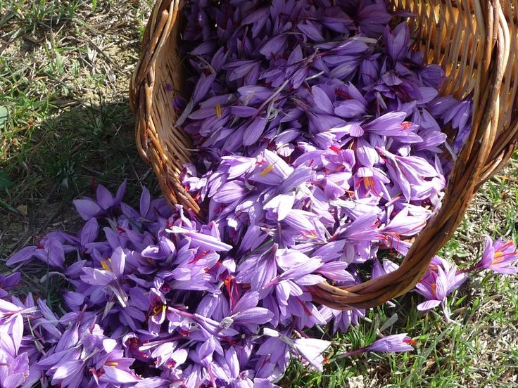 A beautiful saffron flowers! I bellissimi fiori di zafferano #Abruzzo #travel #italy #zafferano #saffron #abruzzosegreto