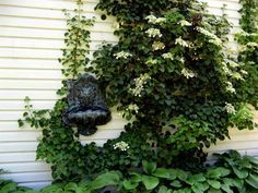 Climbing hydrangeas feature large, fragrant clusters of white flowers that bloom in late spring and summer against a backdrop of dark green, heartshaped foliage. Learn how to grow them with info in this article.