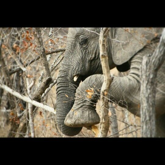 Young African Elephant breaking a branch to eat the bark.