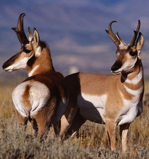 The pronghorn is the second fastest land mammal in the world, after the cheetah. It can attain speeds of over 53 miles (86 kilometers) per hour.