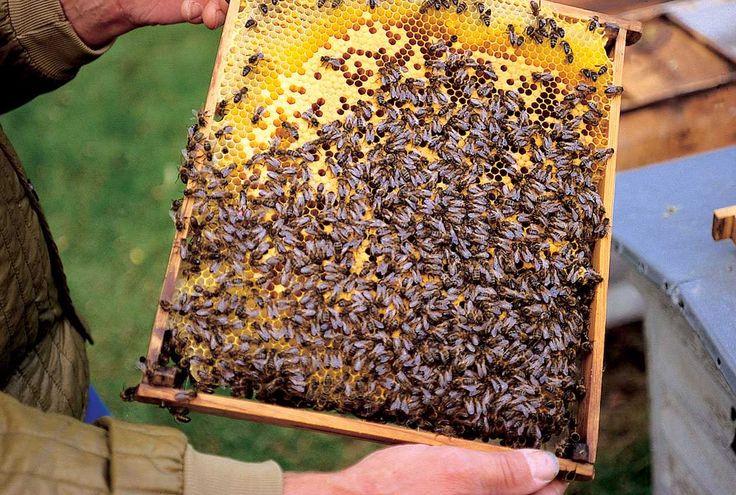 Dänische Dunkle Biene - Wer findet die Königin?