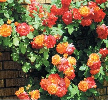 Climbing Rose Lowes Cl Joseph S Coat Large Flowered Climber Showy Blend Of Pink Red Orange And Yellow On 10 Foot Plants Blooms New O