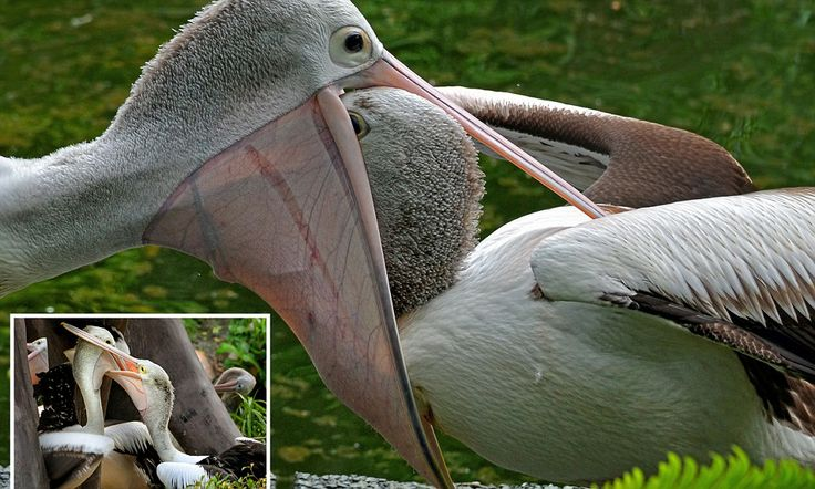 Hungry pelican chick almost loses its head down mother's gullet