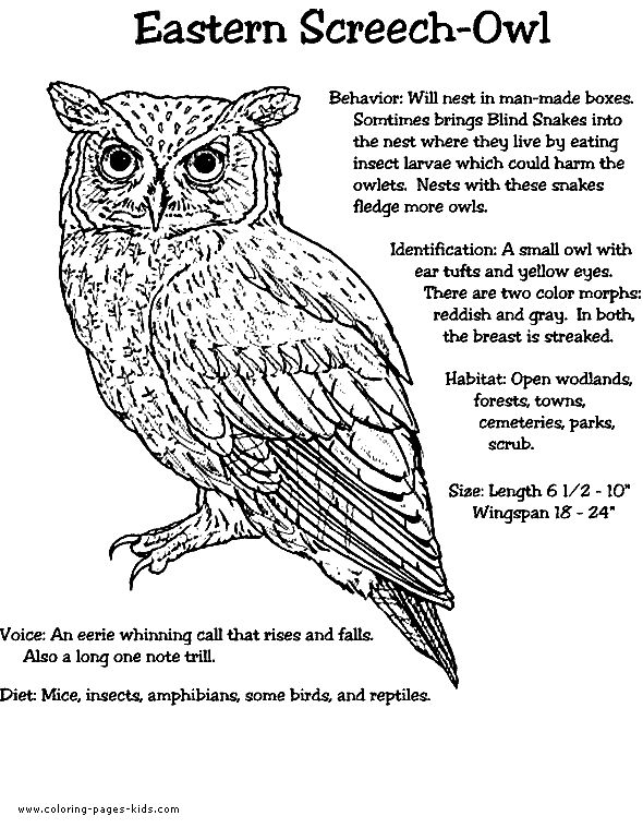 eastern screech owl color page