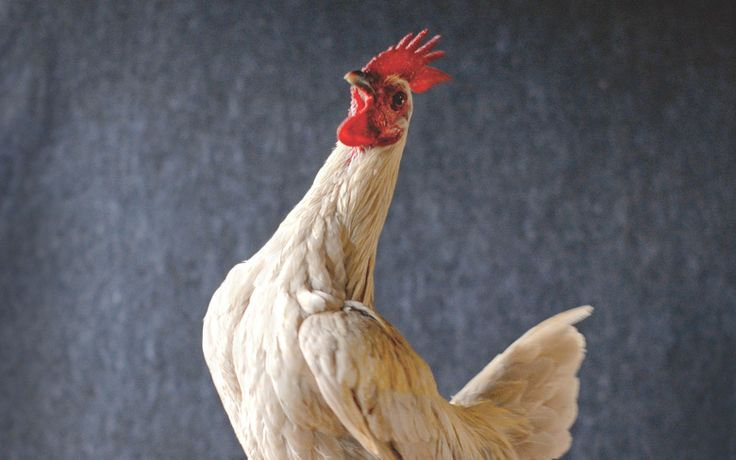 Hipster Backyard Chickens :  Chickens on Pinterest  Raising chickens, Eggs and Chicken treats