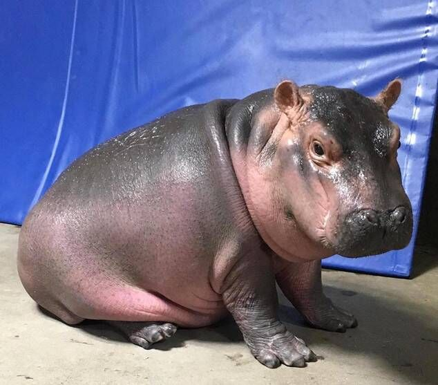 Like Father, Like Daughter from Fiona the Hippo: A Love Story in 2020 |  Fiona the hippo, Baby hippo, Hippo