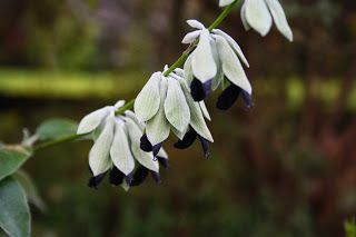El Jardín de Margarita: Salvia discolor, la Salvia que huele a arándanos!!