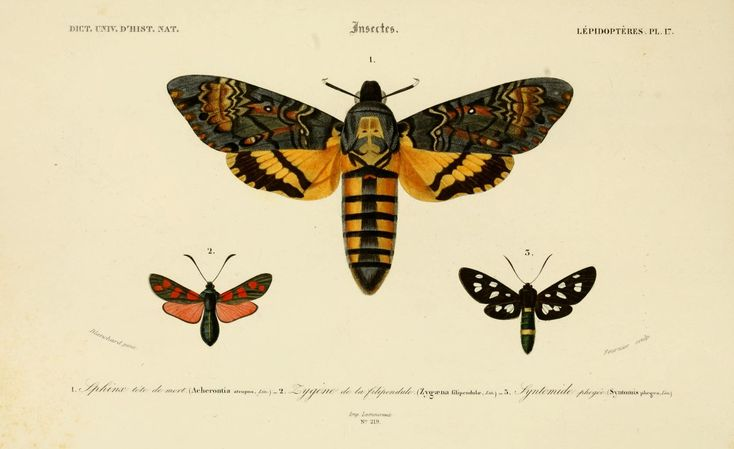 img/dessins couleur insectes/dessin insectes 0193 papillon sphinx tete de mort - acherontia atropos.jpg