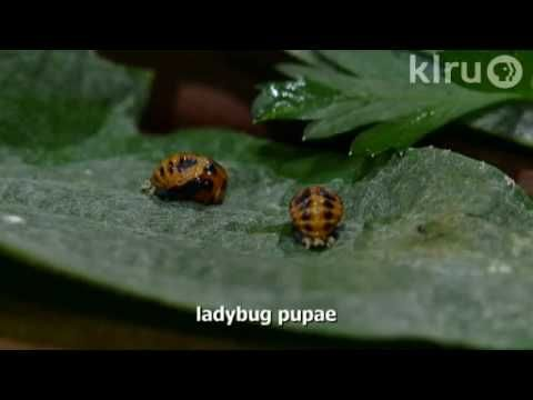 Awesome video about ladybugs, and their role in controlling aphids.