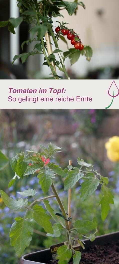 Tomaten in Topf oder Kübel pflanzen und auf dem Balkon oder im Garten ernten