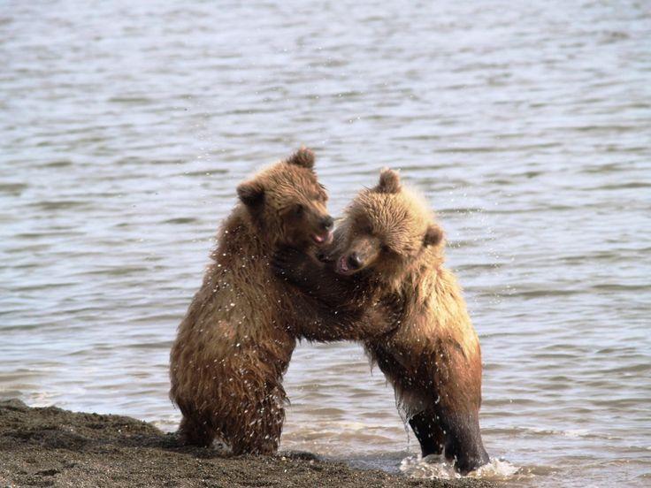 Yavru boz ayılar.