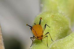 Aphid. using soap solution to control insects. contains table for dilution.