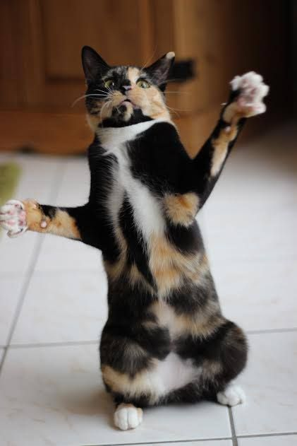 71 Best Images About Calico Cats On Pinterest Calico