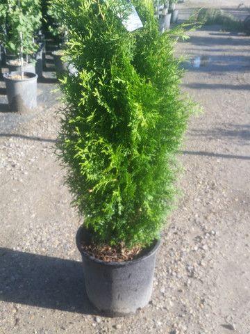 Evergreens - Cedar Trees For Sale Calgary | Cedar Tree For Sale Alberta | Cedar For Sale | Calgary Plants Online Garden Centre