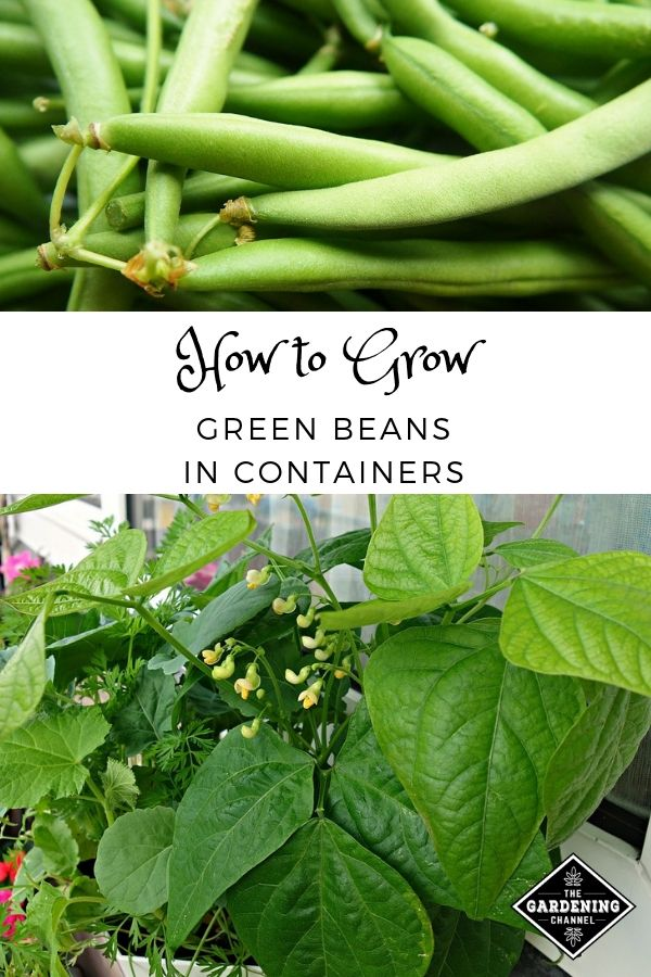 How To Grow Great Green Beans In Containers Growing Green Beans Container Gardening Gardening For Beginners