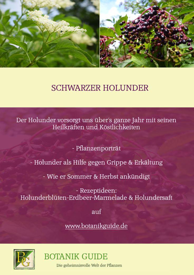 Schwarzer Holunder:  Plfanzenporträt und Rezeptideen auf www.botanikguide.de