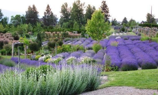 Okanagan Lavender Herb Farm, Kelowna: See 136 reviews, articles, and 88 photos of Okanagan Lavender Herb Farm, ranked No.16 on TripAdvisor among 122 attractions in Kelowna.