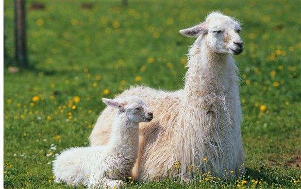 20 Llama Images With Charming Expressions