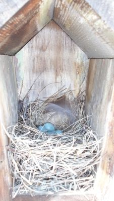 The Western Bluebird nest (left) is a collection of fine grasses and sometimes include a feather or two, leaves and thin bark. It has a fairly shallow cup with, if your lucky, up to seven pale blue eggs.