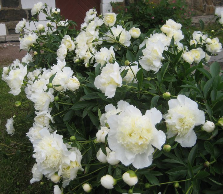 White peonies at their best in midsummer time