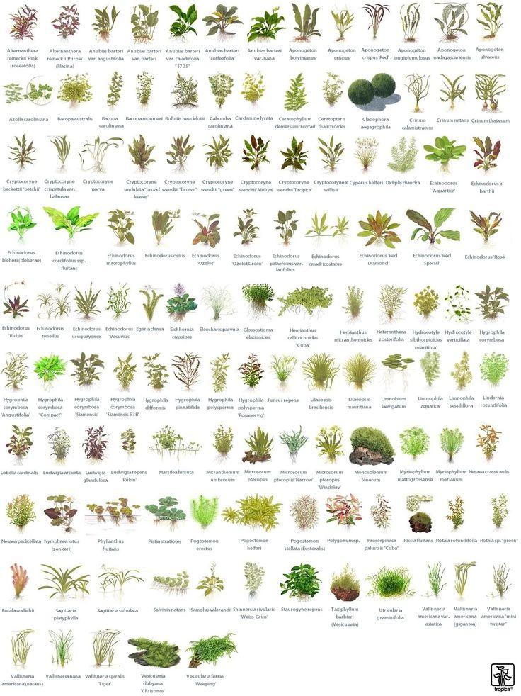 Αναγνώριση φυτών από την Tropica - Greek Aquarist's Boards - Φόρουμ συζητήσεων γιά το χόμπυ του Ενυδρείου