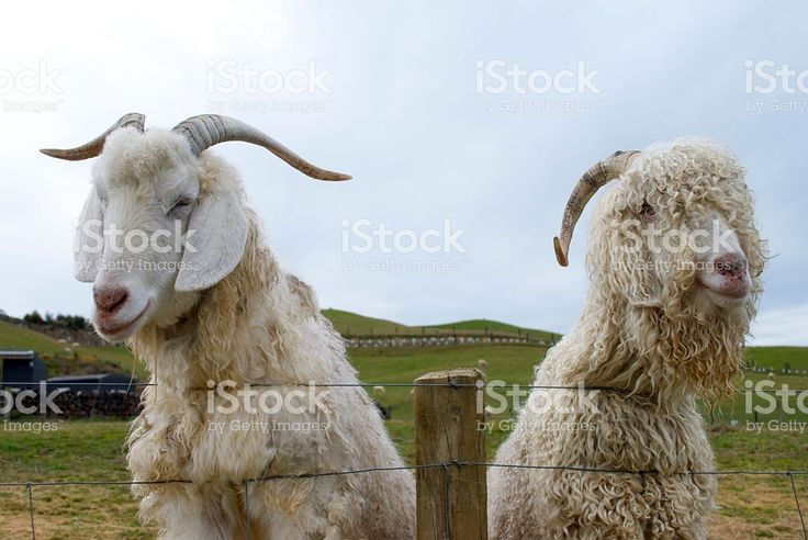 Goat Friends royalty-free stock photo