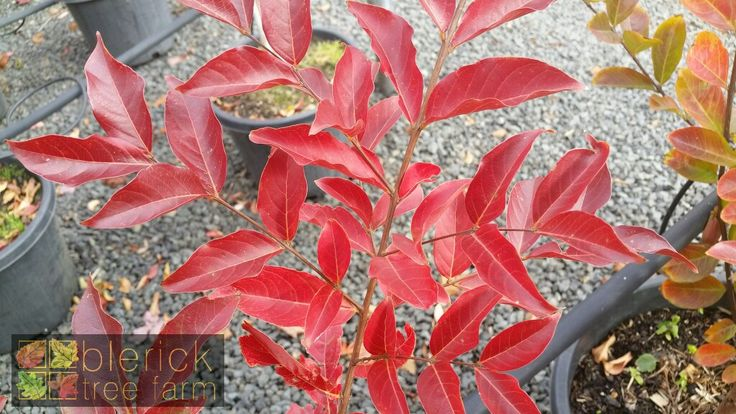 Lagerstroemia fauriei x indica – Acoma – Purchase Bare Rooted Trees Online