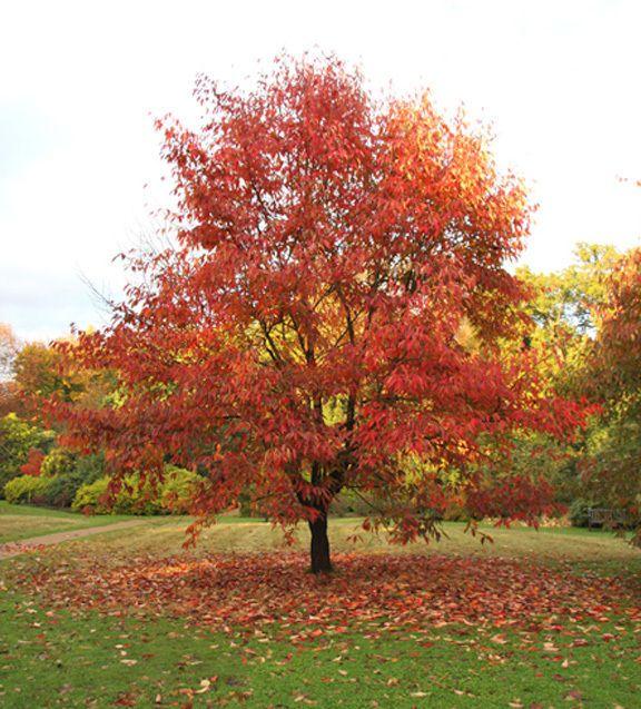57 best specimen trees images on pinterest specimen for Specimen trees