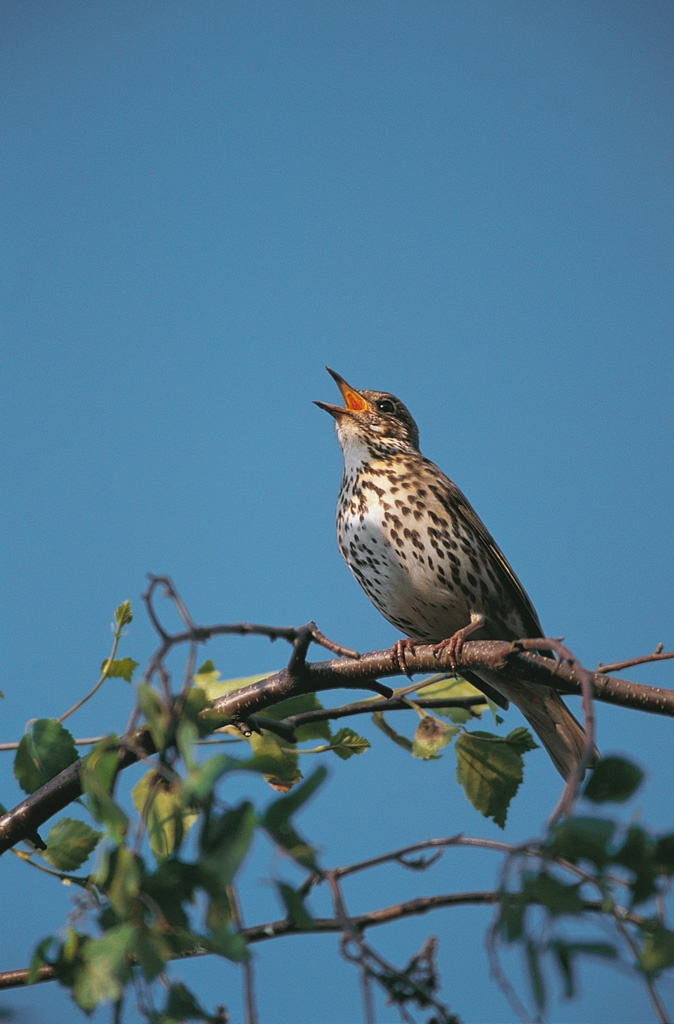 Keep an ear out for thrushes, like this song thrush, singing loud and proud at…