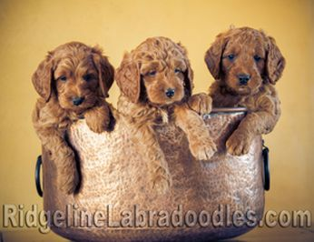 Red Australian Labradoodle Puppies for Sale.   Serving New York, Seattle, Medina, Bellevue, Washington and beyond