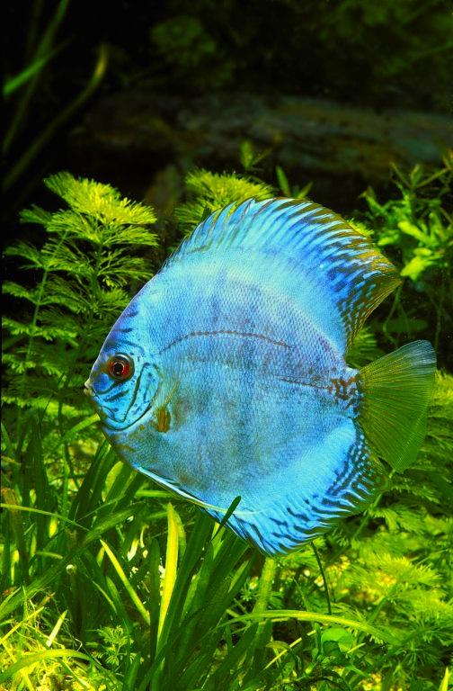Discus : Princes des eaux brésiliennes, admirés pour leurs couleurs éclatantes, adulés par les aquariophiles...