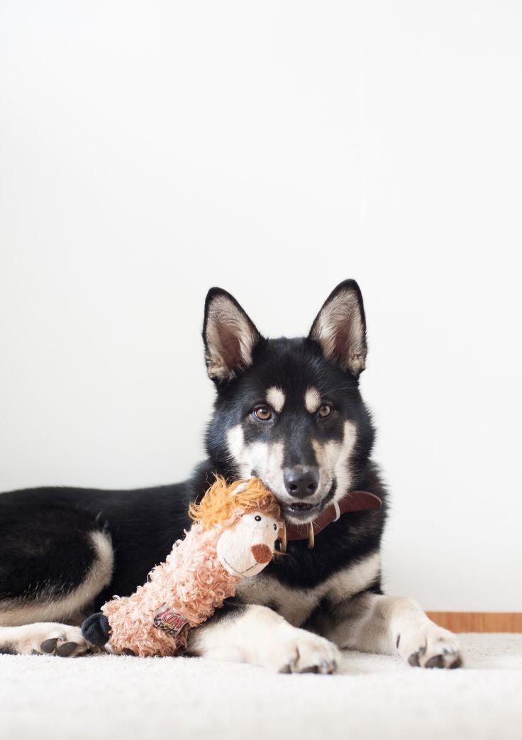 Fantastic Korea Chubby Adorable Dog - 807b6570e020ce3f99517b81d61c267d--korean-jindo-dog-rescue-puppies  HD_9410053  .jpg