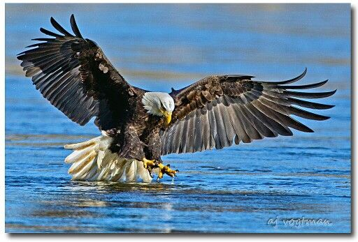 Fish eagle about to catch a fish