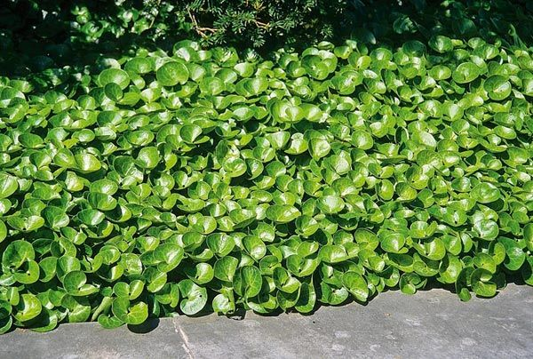 asarum wild ginger ground cover uses best in shade in moist organic slightly acid soil. Black Bedroom Furniture Sets. Home Design Ideas