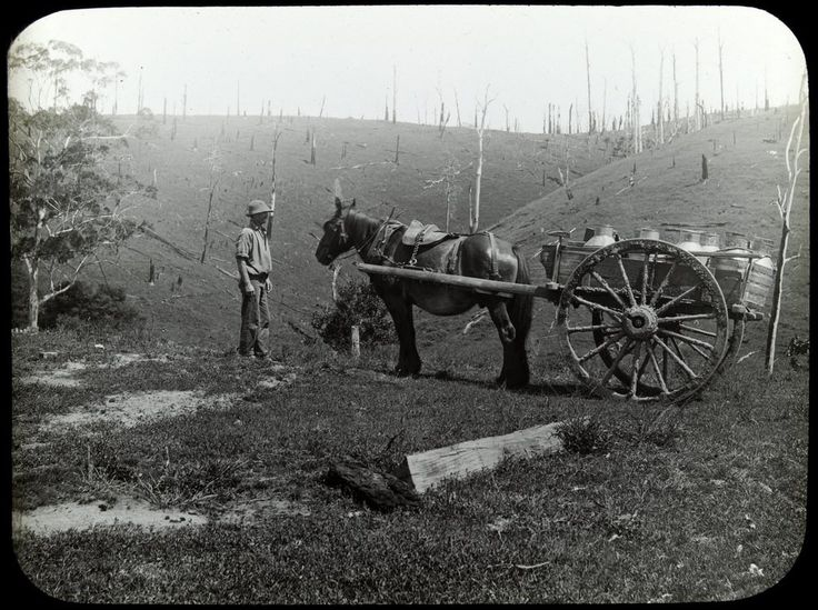 Dairy farming, Gippsland | ca. 1900  Man standing with horse and cart carrying milk cans, undulating land behind them dotted with dead trees.
