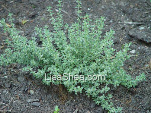 thyme plant - Google Search